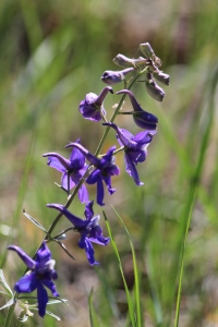 Backlit Larkspur