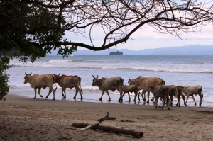 Sometimes we feel as out of place as cows on a Nicaraguan beach.  But apparently, that's not as unusual as it sounds.